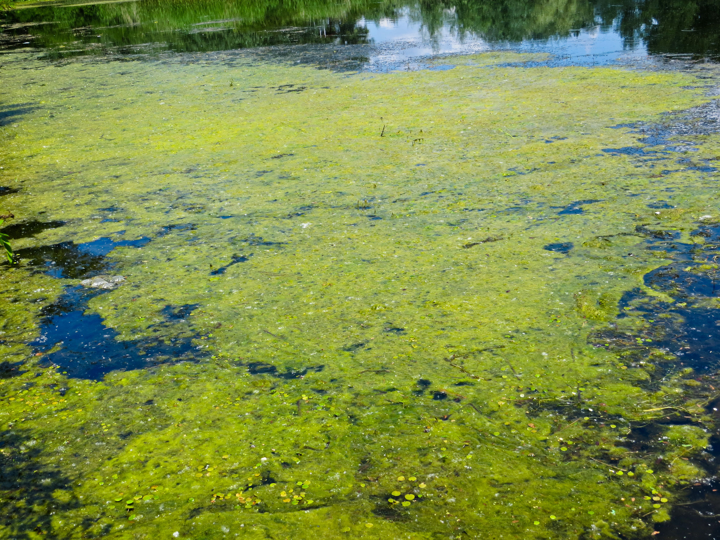 58604308 - green algae on a surface of the lake